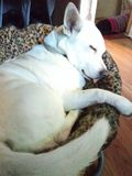 Filhote de cachorro sonolento fotos de stock