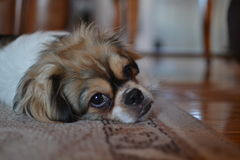 Filhote de cachorro sonolento Imagem de Stock Royalty Free