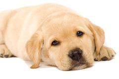Filhote de cachorro sonolento Labrador Fotografia de Stock
