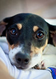 Filhote de cachorro - terrier de Jack Russell Imagens de Stock