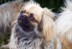 Filhote de cachorro tibetano do Spaniel foto de stock
