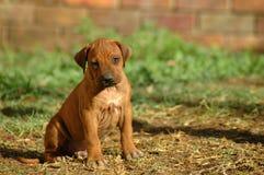 Filhote de cachorro triste Imagem de Stock