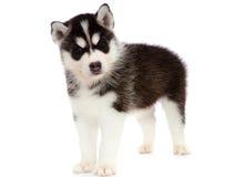 Filhote de cachorro um cão de puxar trenós, isolado. Imagem de Stock