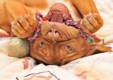 Filhote de cachorro upside-down fotografia de stock