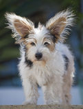 filhote de cachorro velho de Jack Russel de 14 semanas Fotos de Stock Royalty Free