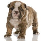 Filhote de cachorro velho de quatro semanas fotografia de stock