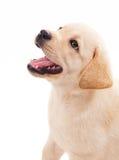 filhote de cachorro velho do retriever de Labrador de 2 meses Fotografia de Stock