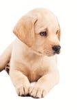 filhote de cachorro velho do retriever de Labrador de 2 meses Fotografia de Stock Royalty Free