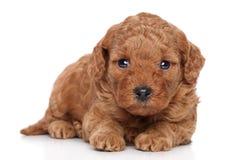 Filhote de cachorro vermelho da caniche Imagens de Stock