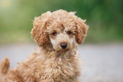 Filhote de cachorro vermelho da caniche de brinquedo Foto de Stock