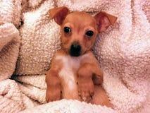 Filhote de cachorro vermelho do chiweenie de Brown em uma cobertura do branco do luxuoso fotografia de stock