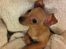 Filhote de cachorro vermelho do chiweenie de Brown em uma cobertura do branco do luxuoso Fotos de Stock
