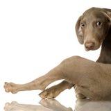 Filhote de cachorro Weimaraner imagens de stock royalty free