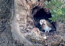 Filhote de coruja com rapina Foto de Stock