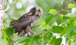 filhote de coruja Longo-orelhudo Imagens de Stock