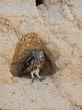 Filhote de coruja - noctua do Athene Imagem de Stock Royalty Free