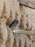 Filhote de coruja - noctua do Athene Foto de Stock