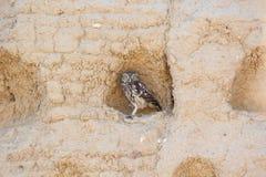 Filhote de coruja - noctua do Athene Imagens de Stock Royalty Free