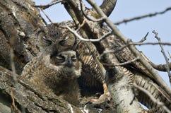 Filhote de coruja novo que está sendo preparado pela mamã Imagens de Stock