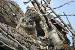 Filhote de coruja novo que está sendo preparado pela mamã Foto de Stock Royalty Free