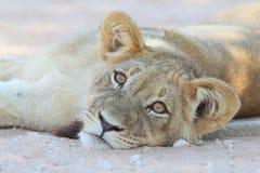 Filhote de leão Fotos de Stock