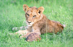 Filhote de leão Fotografia de Stock