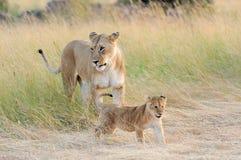 Filhote de leão africano fotos de stock