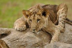 Filhote de leão agachado no tronco de árvore Imagem de Stock