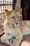 Filhote de leão bonito Fotos de Stock