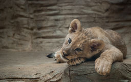 Filhote de leão bonito Fotos de Stock Royalty Free