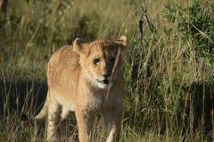 Filhote de leão bonito imagens de stock