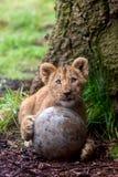Filhote de leão bonito com bola foto de stock royalty free