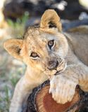 Filhote de leão bonito no tronco de árvore fotografia de stock