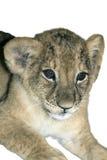Filhote de leão, branco isolado Foto de Stock Royalty Free