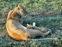Filhote de leão em África Imagem de Stock Royalty Free