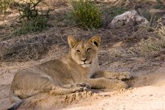 Filhote de leão em Kgalagadi Imagem de Stock Royalty Free