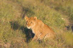 Filhote de leão na estrada imagens de stock