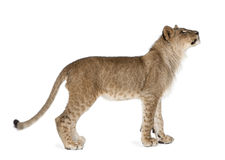 Filhote de leão na frente de um fundo branco Fotos de Stock Royalty Free