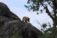 Filhote de leão na rocha em kopjes de Simba imagem de stock royalty free