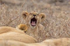 Filhote de leão nas pastagem em Masai Mara, Kenya África imagens de stock royalty free