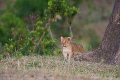 Filhote de leão no Masai Mara fotos de stock royalty free