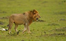 Filhote de leão no Masai Mara fotografia de stock