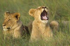 Filhote de leão que boceja imagens de stock royalty free