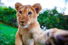 Filhote de leão que dá uma pata Fotografia de Stock Royalty Free