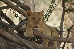 Filhote de leão que escala acima uma árvore Imagens de Stock