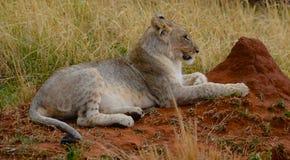 Filhote de leão que esconde atrás de um formiga-monte Fotografia de Stock Royalty Free