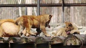 Filhote de leão que joga com a cauda de uma leoa vídeos de arquivo