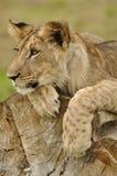 Filhote de leão que olha à esquerda no tronco de árvore Imagem de Stock Royalty Free