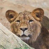 Filhote de leão que olha no jardim zoológico foto de stock