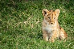 Filhote de le?o que senta-se na grama de Masai Mara imagens de stock royalty free